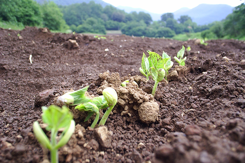 Les plantes dels Fesols de Santa Pau comencen a sortir als camps.